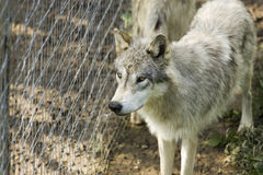 White Timber wolf Stock Photos