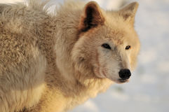 White Timber wolf in snow Royalty Free Stock Photo