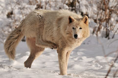 White Timber wolf in snow Stock Photography