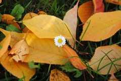 Daisy in yellow autumn leaves Royalty Free Stock Photo
