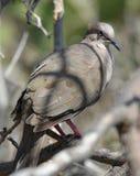 The white tip dove in Aruba Stock Photo
