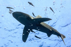 White tip oceanic shark Stock Images