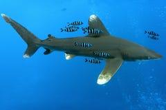White tip oceanic shark. Oceanic White Tip shark - longimanus in the Red Sea royalty free stock photo