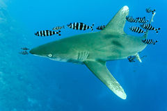 White tip oceanic shark Stock Image