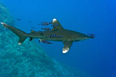 White tip oceanic shark Royalty Free Stock Image