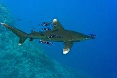 White tip oceanic shark. Oceanic White Tip shark - longimanus in the Red Sea royalty free stock image