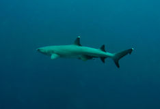 White tip reef shark open ocean sipadan. White tip reef shark underwater circling sipadan island sabah borneo royalty free stock photography