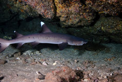 White Tip Reef Shark royalty free stock image