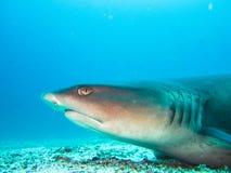White tip reef shark close up galapagos islands ecuador. White tip reef shark close up at galapagos islands ecuador royalty free stock photography