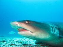 White tip reef shark close up galapagos islands ecuador. White tip reef shark close up at galapagos islands ecuador stock images