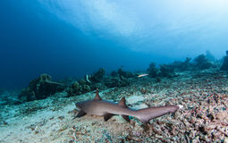 White tip reef Shark Stock Images