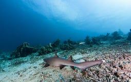 White tip reef Shark. Dive in sipadan stock images