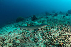 White tip reef Shark dive in sipadan stock photos