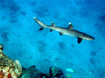 White Tip Reef Shark Fiji. Cruising drop off stock photos