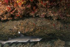 A white tip reef shark. With a fishing hook caught in it`s mouth royalty free stock images