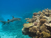 White Tip Reef Shark on GB reef royalty free stock photo