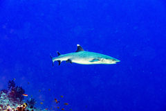 White tip reef shark ready to attack underwater Royalty Free Stock Photos