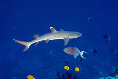 White tip reef shark ready to attack underwater Royalty Free Stock Images