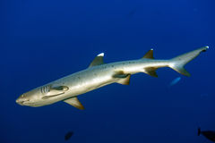 White tip reef shark ready to attack underwater. White tip reef shark jaws close up portrait while looking at you while diving in maldives Stock Photos