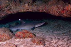 White Tip Reef Shark stock photo