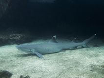 White Tip Reef Shark resting on Sandy Bottom stock images