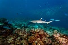 White tip reef shark, Triaenodon obesus, swims over hard coral on reef closeup. White tip reef shark swims over hard coral on reef closeup royalty free stock photos