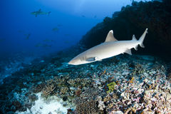 White tip reef shark Triaenodon Obesus. A white tip reef shark in south pacific ocean stock images