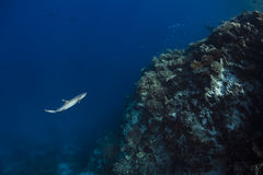 White tip reef shark Triaenodon Obesus. In Maldives Atoll stock photo