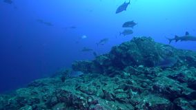 White-tip Reef Shark Triaenodon obesus and Bluefin trevally Caranx melampygus in Socorro island stock video