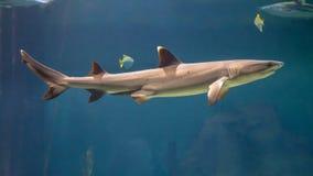 White tip reef shark. & x28;Triaenodon obesus& x29; swimming in blue water stock image