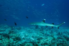 Close up of a white tip reef shark ,Triaenodon obesus ,swims above coral reef. White tip reef shark, Triaenodon obesus, swims along above coral reef closeup royalty free stock images
