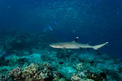 White tip reef shark Triaenodon obesus swims over coral reef royalty free stock photos