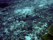 White tip reef shark underwater in Indonesia. White tip reef shark underwater shot taken while diving on Gili Trawangan, Indonesia stock photo
