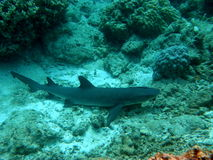 White Tip Reef Sharks Fiji with Remora royalty free stock image