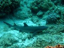 White Tip Reef Sharks Fiji with Remora. White Tip Reef Shark Fiji Resting on Sand with Remora royalty free stock image