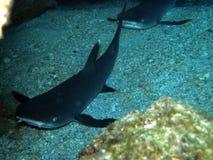 White Tip Reef Sharks Fiji Resting. Two White Tip Reef Sharks Fiji resting in cave on sandy bottom royalty free stock image