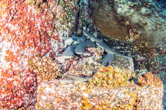 White tip reef sharks. Picture shows white tip reef sharks during a scuba dive royalty free stock photo