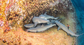 White tip reef sharks. Picture shows white tip reef sharks during a scuba dive royalty free stock images