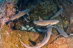 White tip reef sharks at Roca Partida, Mexico. Picture shows White tip reef sharks at Roca Partida, Mexico stock image