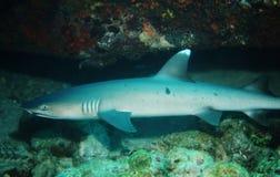 White tip shark. In the Indian Ocean stock image