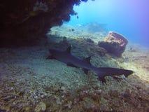 White tip shark. Sleeping white tip shark under a bommi royalty free stock image
