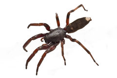 White tip spider Royalty Free Stock Image