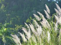 White tip tall grass. Sunbathed bu the sun in front of a tropical mountain on bright morning in Puerto Rico royalty free stock photos