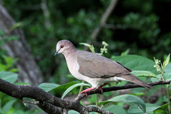 White-tipped Dove Royalty Free Stock Image