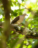 White-tipped Dove Stock Images
