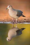 White-tipped dove Stock Photos
