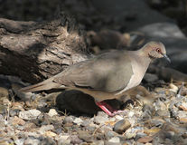 White Tipped Dove Stock Photo