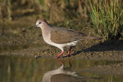 White-tipped Dove (Leptotila verreauxi verreauxi) Royalty Free Stock Image