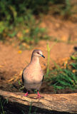 White-tipped Dove on Log. A white-tipped dove perched on a log at waterhole Royalty Free Stock Photos