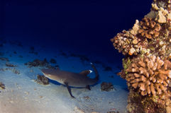 White Tipped Reef Shark Stock Images